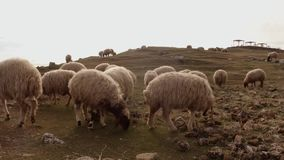 Сокращать-ушастые волосатые овцы пасут на холме к востоку Турции, границы с Сирией сток-видео