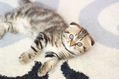Сокращать-ушастые игры котенка Кот Шотландии, котенок котенок немногая шаловливое Стоковая Фотография RF