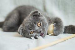 Сокращать-ушастые игры котенка Кот Шотландии, котенок котенок немногая шаловливое Стоковое Изображение RF