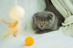 Сокращать-ушастые игры котенка Кот Шотландии, котенок котенок немногая шаловливое Стоковые Фотографии RF