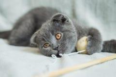Сокращать-ушастые игры котенка Кот Шотландии, котенок котенок немногая шаловливое Стоковое фото RF
