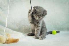 Сокращать-ушастые игры котенка Кот Шотландии, котенок котенок немногая шаловливое Стоковые Фото