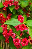 Сокращение - род цветковых растений семьи Balsaminov стоковые изображения rf