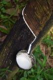 Сок резинового дерева стоковое изображение