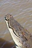 соленая вода крокодила Стоковые Фото