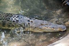 соленая вода крокодила Стоковое Фото