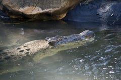 соленая вода крокодила Стоковые Изображения