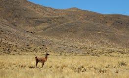 Солитарная лама на желтом поле