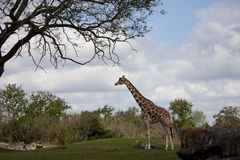 Солитарный жираф против пасмурного неба лета Стоковое Фото