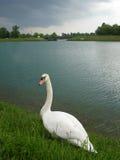 солитарный лебедь Стоковая Фотография