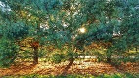 Солнечная земля задней части сосны Стоковая Фотография RF