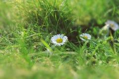 Солнечная маргаритка в зеленой траве стоковое изображение rf