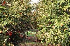 Солнечная плантация зрелых хурм Стоковое Изображение RF