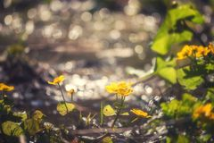 Солнечная предпосылка природы весны с цвести желтым Caltha цветков стоковое фото