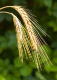 солнечная пшеница стоковые фото