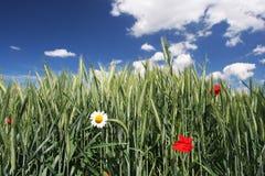 солнечная пшеница Стоковое Изображение
