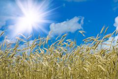 солнечная пшеница Стоковое Изображение RF