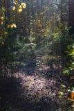 Солнечная расчистка в мистическом лесе фантазии на день осени с яркими тенями листьев и сосен Теплое зарево Солнца стоковая фотография rf