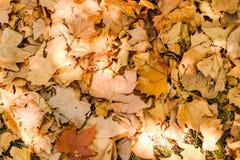 Солнечная слепимость на кленовых листах желтого цвета ` s last year как текстура или предпосылка листьев стоковое изображение rf