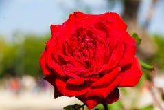 Солнечная счастливая большая красная роза Стоковые Изображения