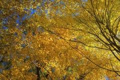 Солнечний свет освещает цветастые клены стоковая фотография