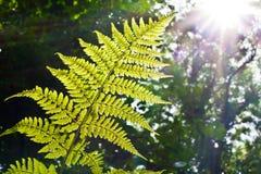 солнечний свет папоротника Стоковое фото RF