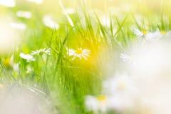 Солнечное поле маргариток; предпосылка весны стоковые изображения
