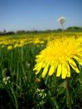 Солнечное поле одуванчика против голубого неба Стоковое Изображение