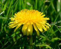 Солнечность одуванчика весной Стоковые Фото