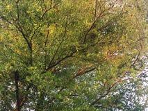 Солнечность отражает на зеленых и желтых листьях дерева ivorensis Terminalia стоковое изображение