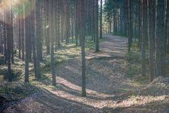 Солнечность с естественным солнечным светом и солнцем излучает через деревья древесин стоковые изображения rf