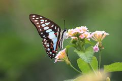 Солнечность утра нектара охотника бабочки стоковое изображение