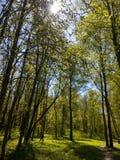 Солнечные лесные деревья в России Стоковое Фото