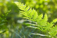 Солнечные листья папоротника Зеленая листва, естественный флористический папоротник стоковые изображения rf