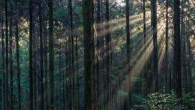 Солнечные лучи в темном лесе стоковая фотография rf