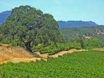 солнечный виноградник Стоковое Изображение