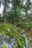 Солнечный высокорослый пейзаж леса сосны Стоковые Фото
