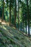 Солнечный высокорослый пейзаж сосны Стоковая Фотография