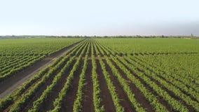 Солнечный день и много строк виноградника r сток-видео