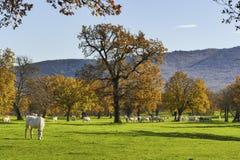 Солнечный день с белыми лошадями в осени Стоковое фото RF