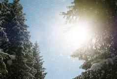 Солнечный луч и сосны солнечного света зимы в естественном лесе стоковые изображения