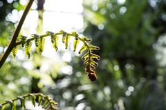 Солнечный свет на молодом тщедушном ростке папоротника стоковое изображение