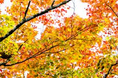 Солнечный свет осени клена, ветвь дерева клена в повороте осени к красной, оранжевый, зеленый, желтый цвет выходит в сезон осени Стоковое фото RF