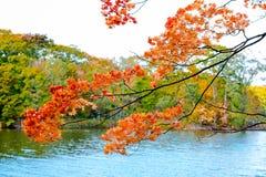 Солнечный свет осени клена, ветвь дерева клена в повороте осени к красной, оранжевый, зеленый, желтый цвет выходит в ландшафт sea Стоковые Изображения