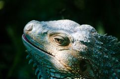 Солнечный свет светит зеленой голове ` s игуаны стоковая фотография rf
