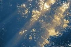 Солнечный свет светя через деревья на предыдущем туманном утре стоковое изображение