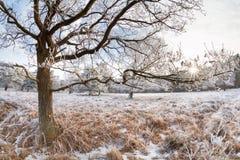 Солнечный свет через ветви дуба в зиме Стоковое Фото