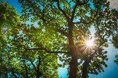 Солнечный свет через ветви дуба Стоковая Фотография RF
