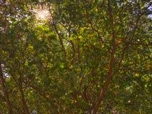Солнечный свет через листья на верхнем дереве Солнечность отражает на зеленых и желтых листьях стоковое фото