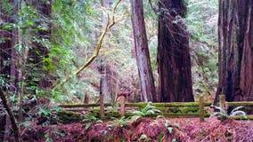Солнечный свет через Redwoods Стоковые Фотографии RF